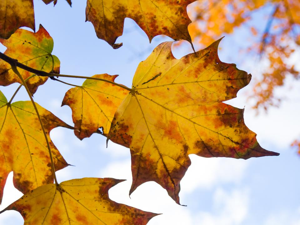 nature trees branches leaves maple sky clouds autumn fall still bokeh blue brown yellow
