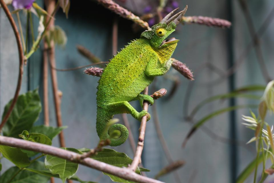 lizard reptile green chameleon tree branch animal