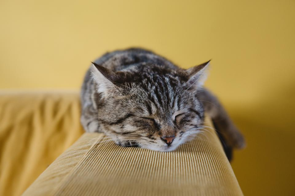 cat cute animal couch sofa sleeping rest black bokeh blur wall yellow