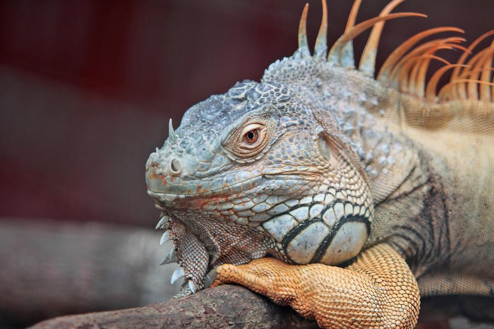 iguana pet animal wildlife reptile
