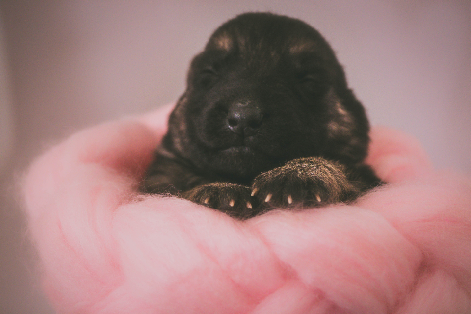 puppy dog hand animal pet cute sleep black german shepherd newborn paws
