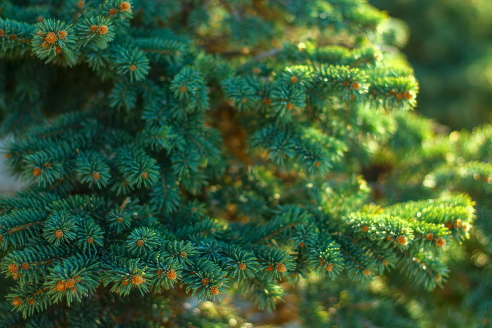 pine needles green generic background pine tree