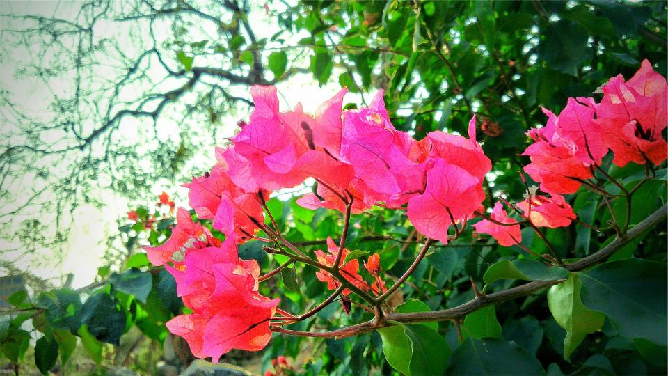 bougainvillea flower flowers leaves nature green pink