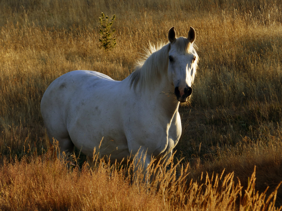 white horse pasture sunny animal field farm equine equestrian nature landscape mare grass sunset wild