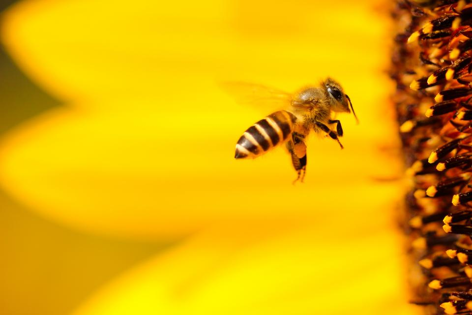 bee yellow wings flying sunflower flower bokeh blur animal insect nature petal outdoor closeup