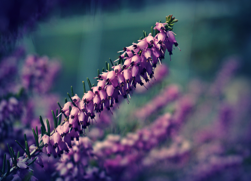 heather flowers flower floral garden nature lilac plants