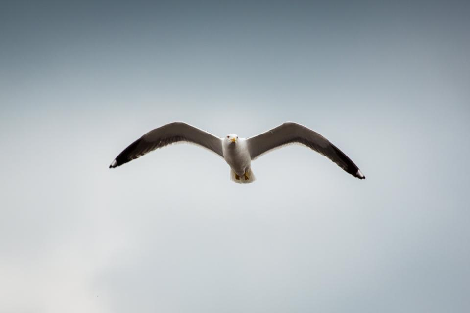 animals birds seagulls flight flying nature sky clouds