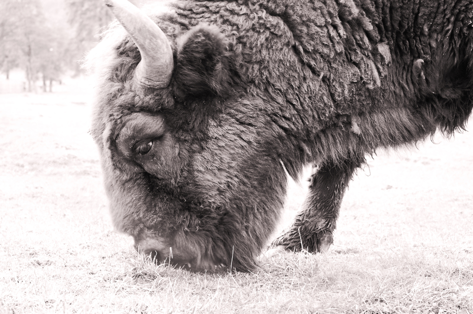 bison wild animal nature outdoors field black and white