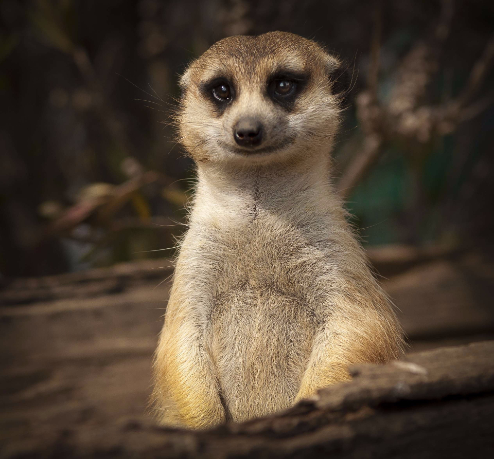 meerkat cute smile close eyes upright portrait wildlife animals happy