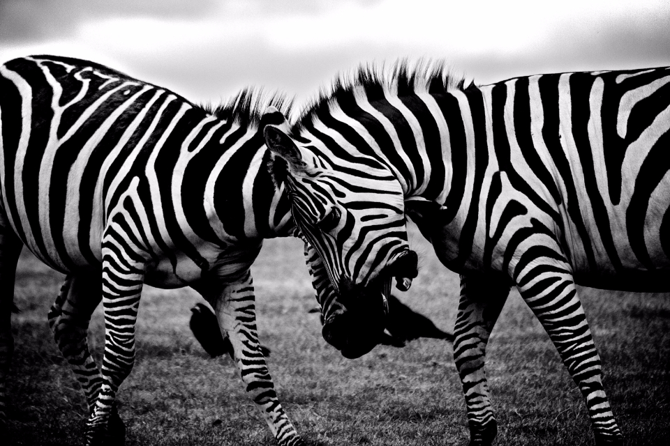 zebra clash wildlife animals fight black white black & white wild
