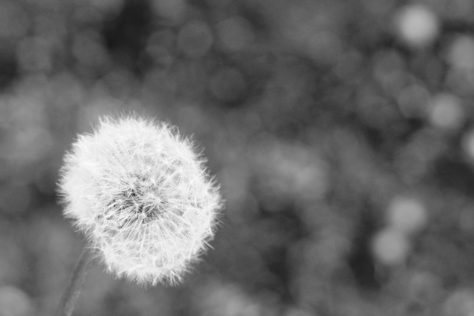 dandelion flower light bokeh lights black & white nature
