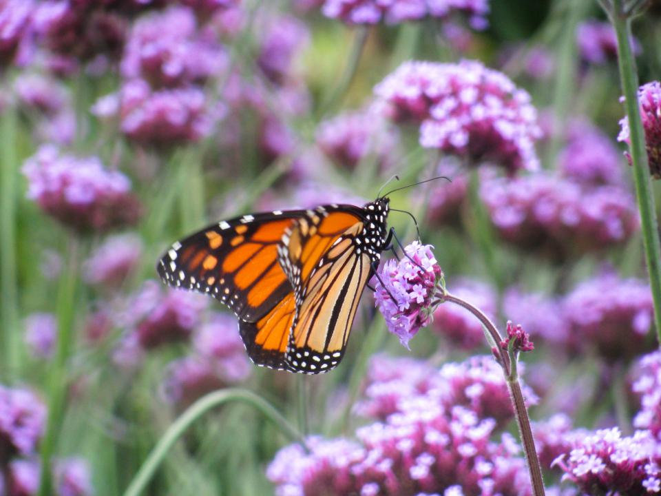 butterfly purple flowers garden nature