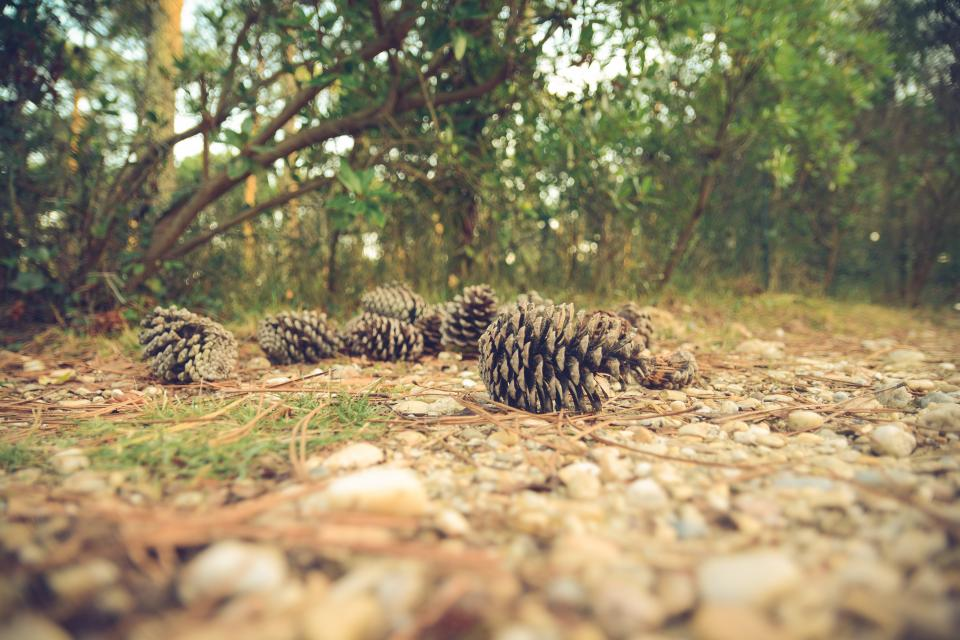 pine cones forest woods park nature outdoors trees branches rocks pebbles ground
