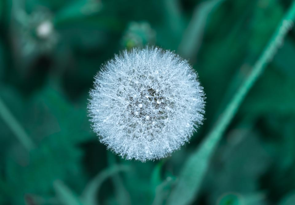 flowers nature blossoms dandelions wish white stems stalks branches still bokeh
