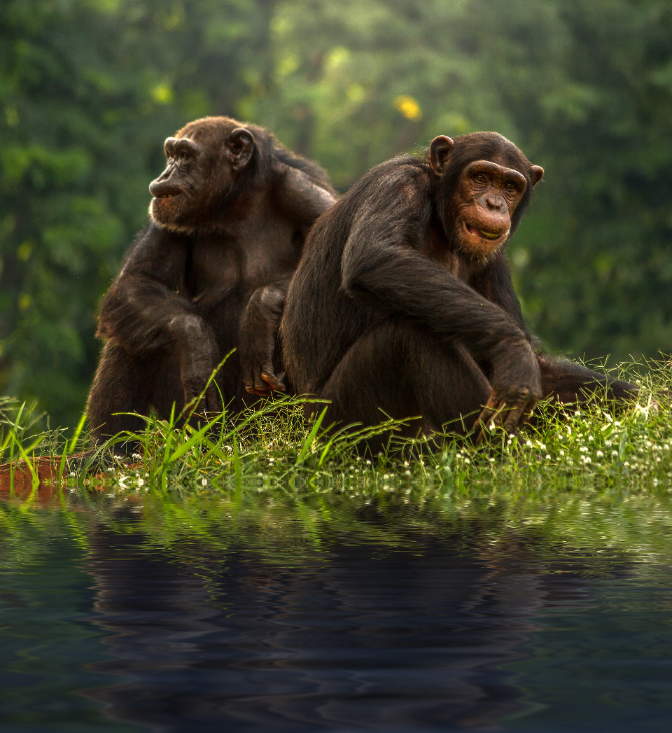 two brown chimpanzee animals wild jungle grass green monkey primate forest