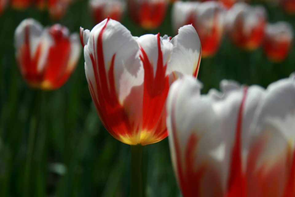 tulip flower macro petals nature garden easter spring bloom blossom flora field plants colorful red white close up