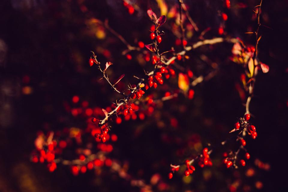 tree branch plant nature dark red fruit barberry