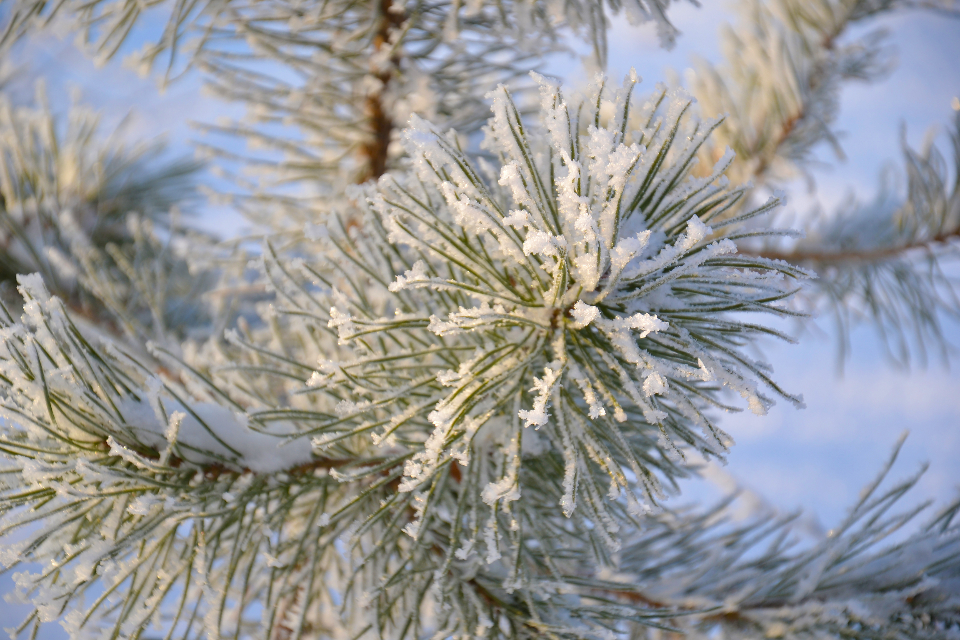tree pine winter needles crystals snow hoarfrost winter forest branch christmas green
