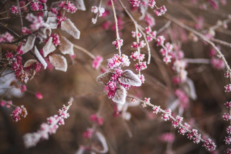 trees branches leaves plants berries frost winter nature