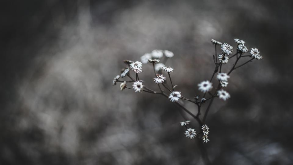flowers nature blossoms branches black white petals bokeh outdoors garden