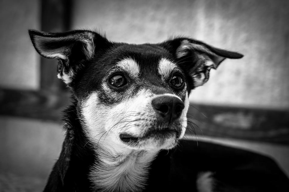 grayscale puppy black and white dog pet monochrome animal