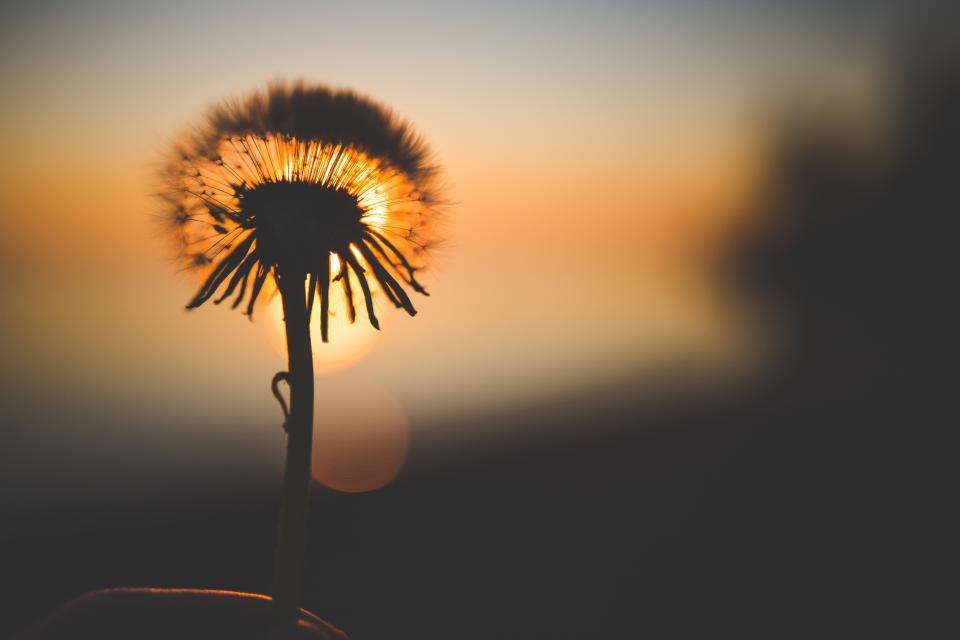 dandelion flower sunset dusk shadow silhouette nature bokeh blurry