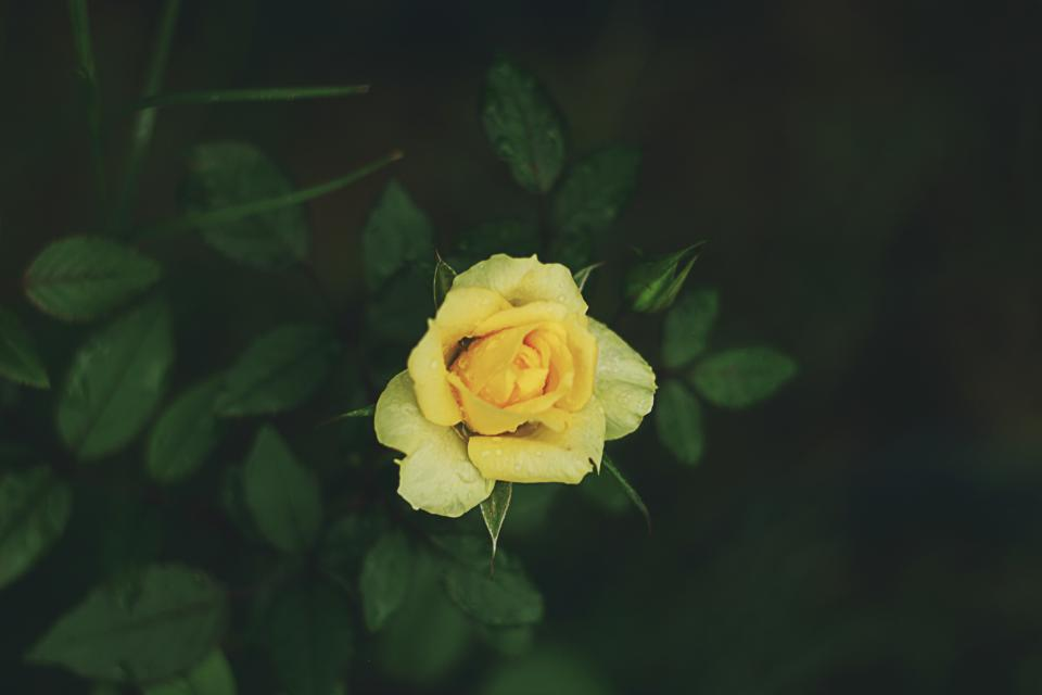 yellow petal rose flower green leaf plant nature blur