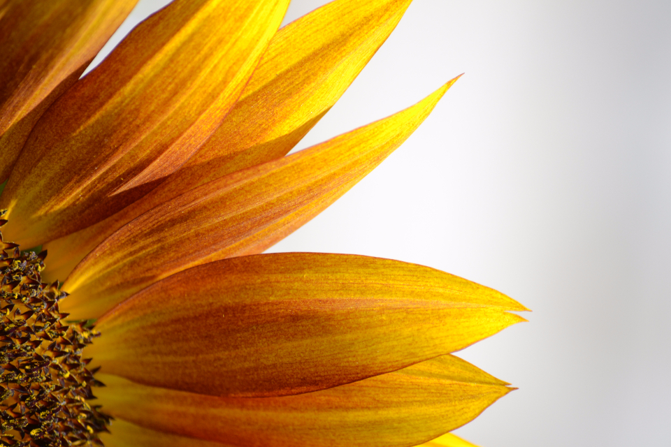 sunflower yellow flower close-up nature flora fauna petals