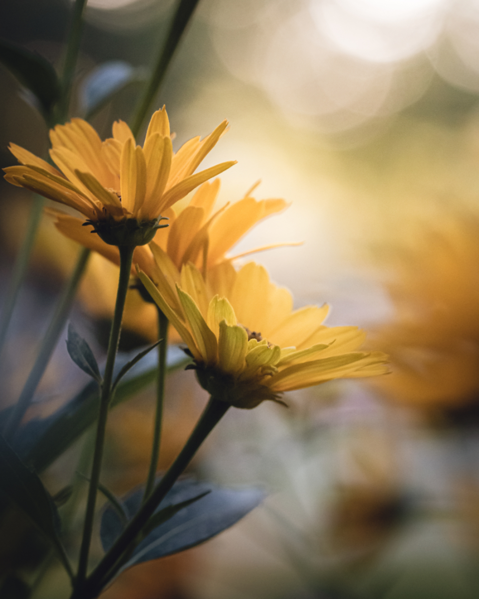 bokeh daisies flowers yellow garden floral nature plant sunshine close up flora fresh organic environment plants petals bloom blossom