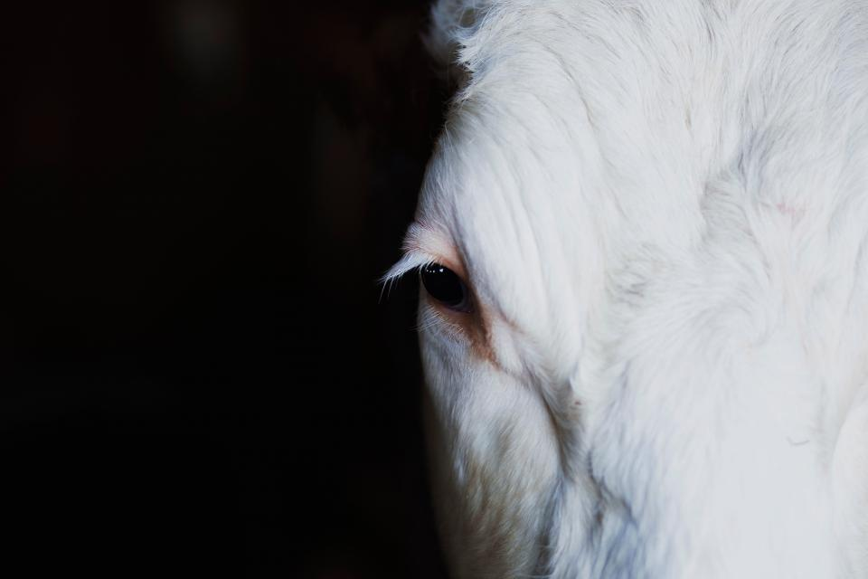 white horse pet animal face eye
