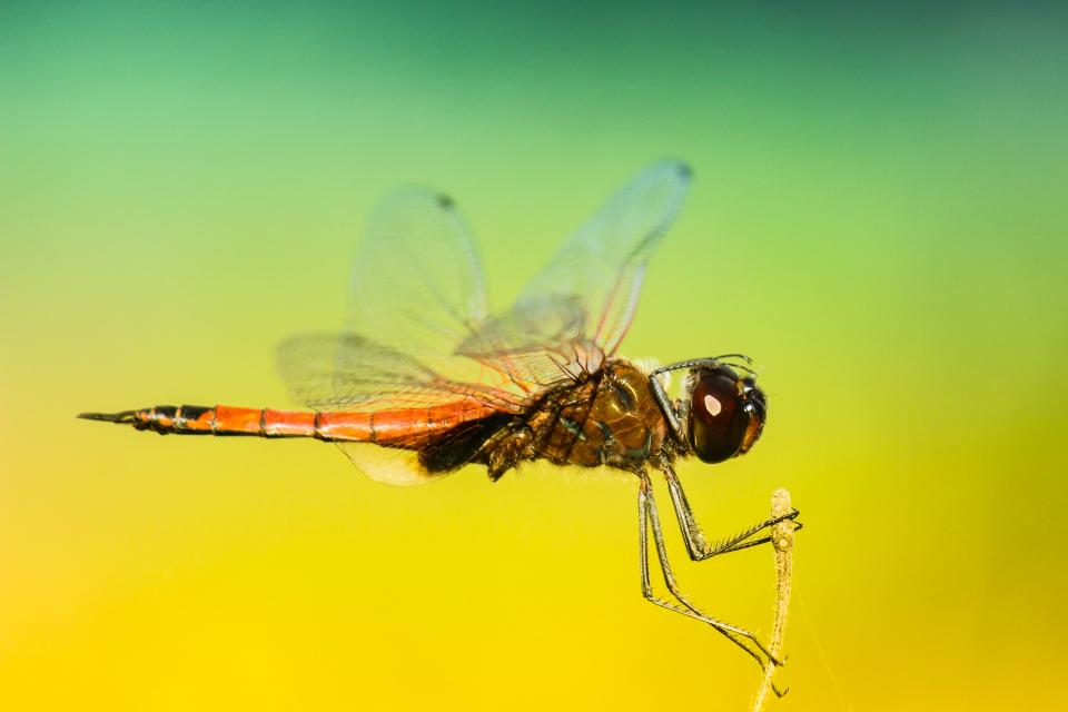 insects dragonfly wings colors patterns gradient still bokeh