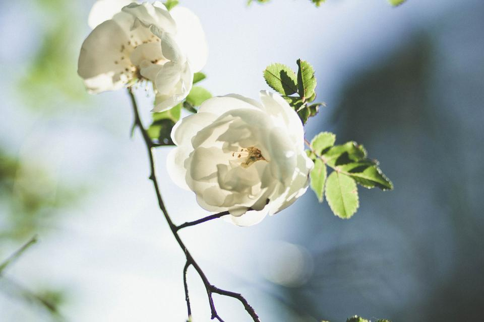 flowers nature blossoms branches stems stalk white petals bokeh outdoors garden