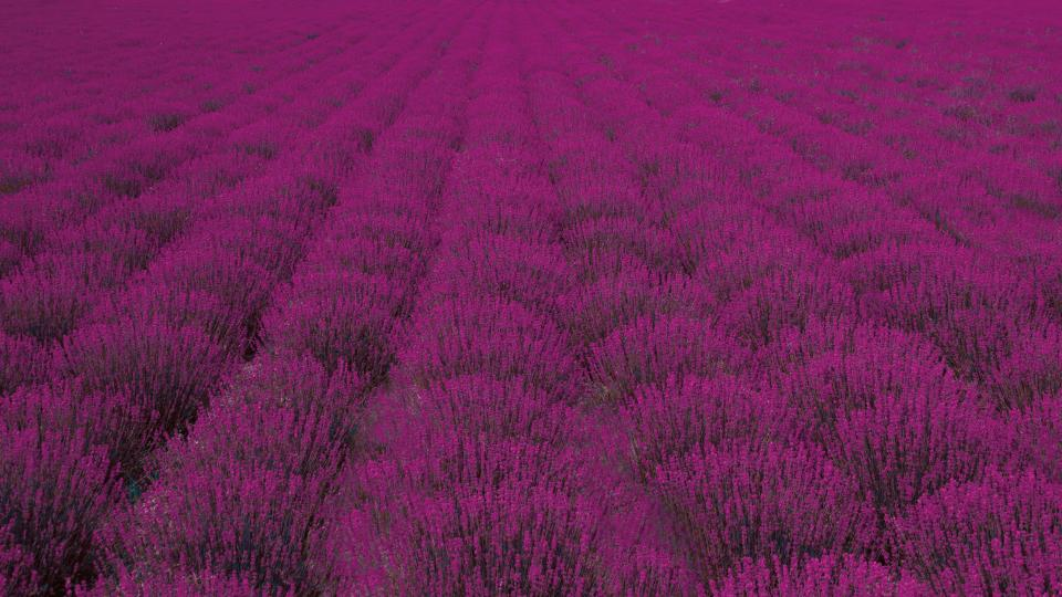 field flower lavender nature plant summer