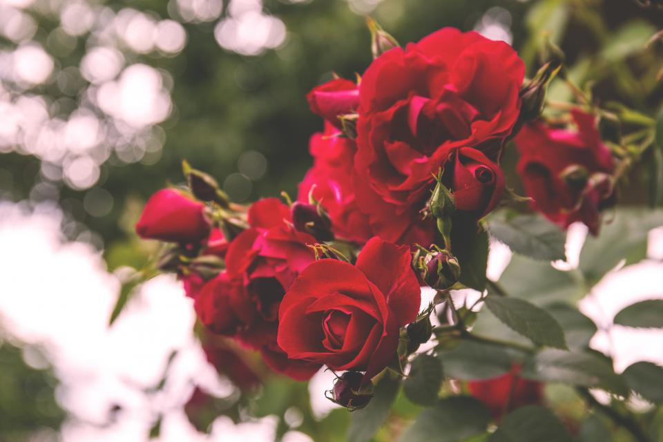 flowers nature blossoms leaves red petals clusters roses trees outdoors still bokeh