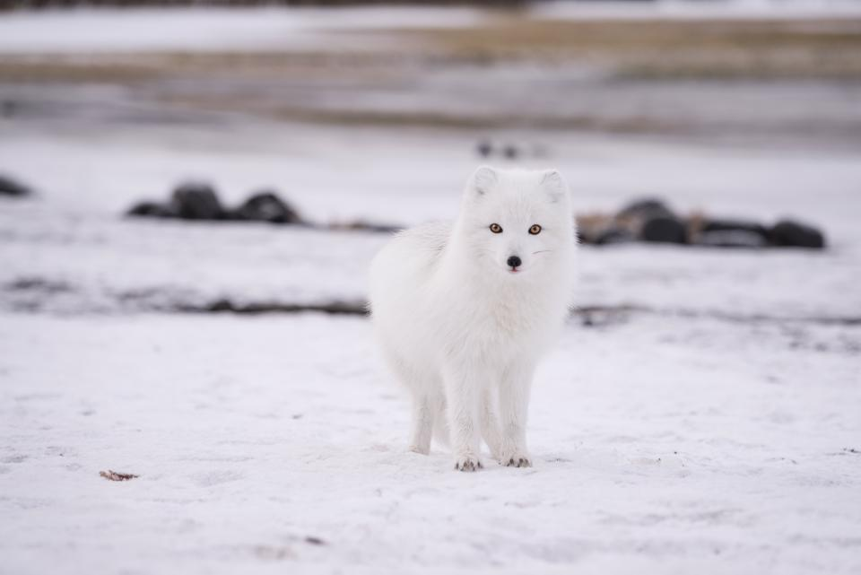 snow winter white cold weather ice animal fur nature