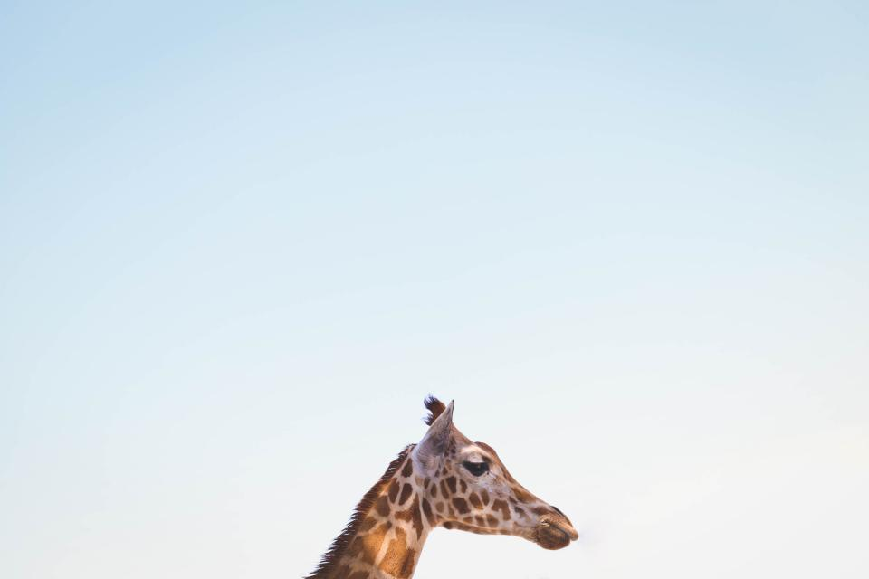 nature blue sky animals giraffe head