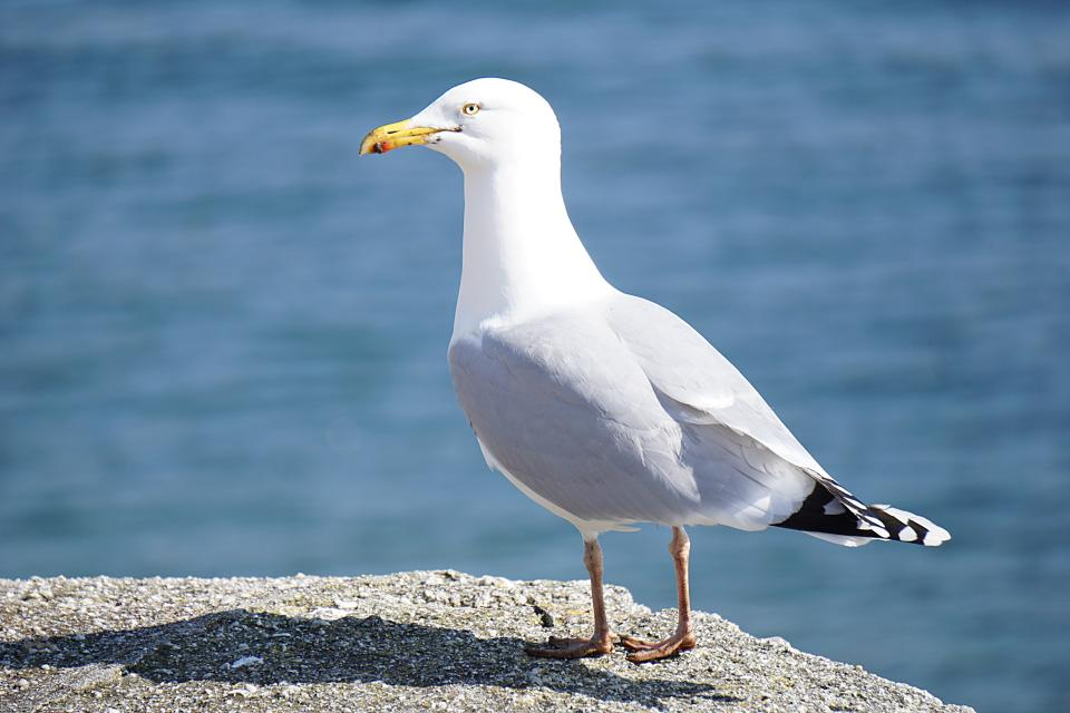 animals bird seagull rock water sea deep feather