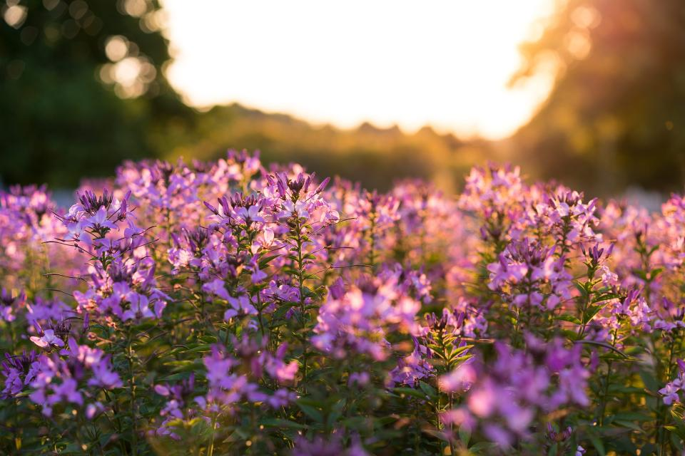 flower purple plant nature green leaves farm garden blur bokeh sunshine sunrise sunset sky