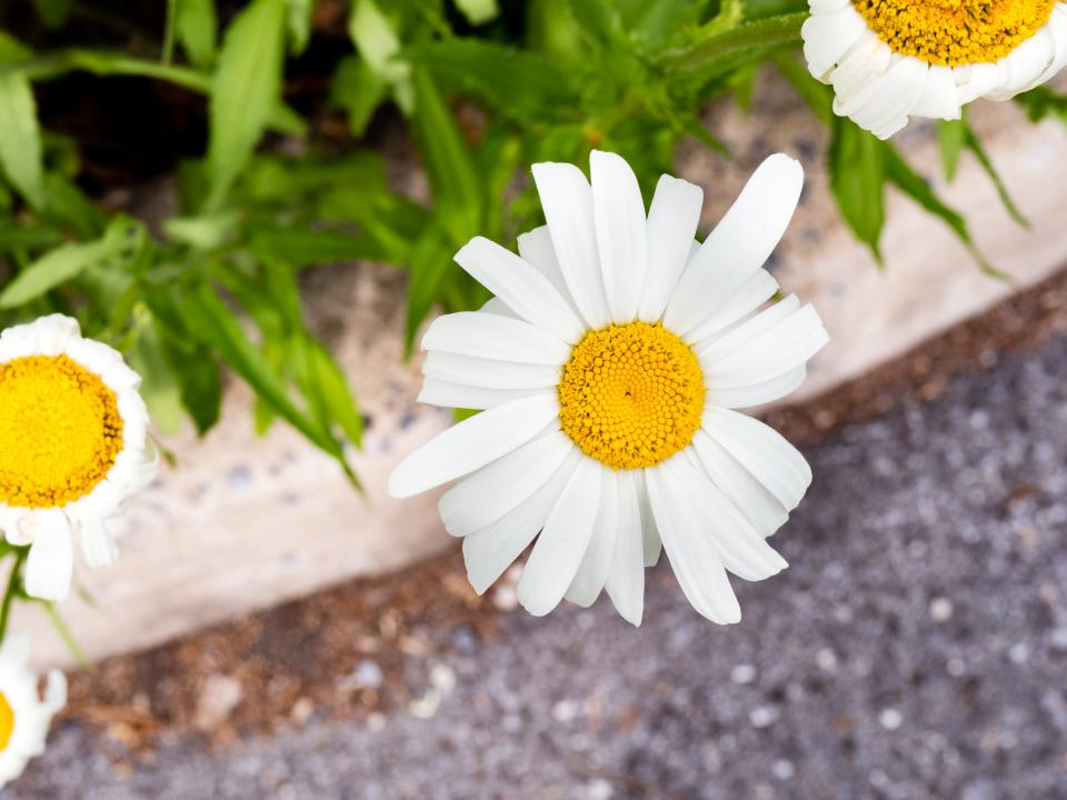 white petal yellow flower garden nature plant outdoor