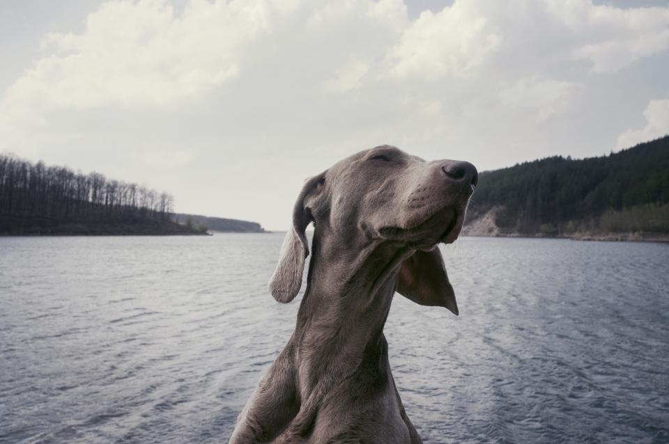 weimaraner breed dog animal lake water clouds sky