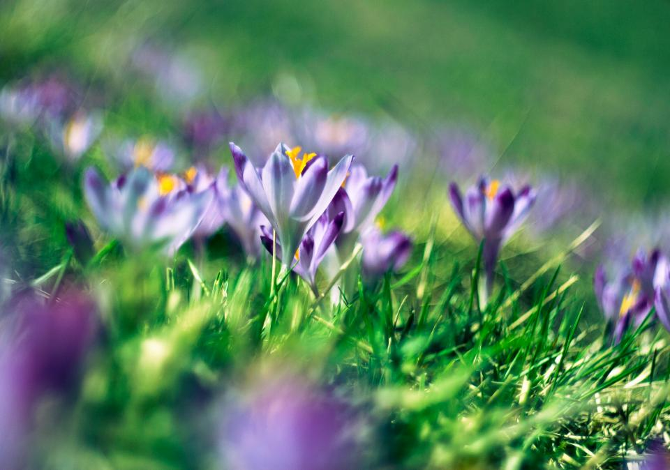 green grass purple flower petal bloom nature outdoor garden blur