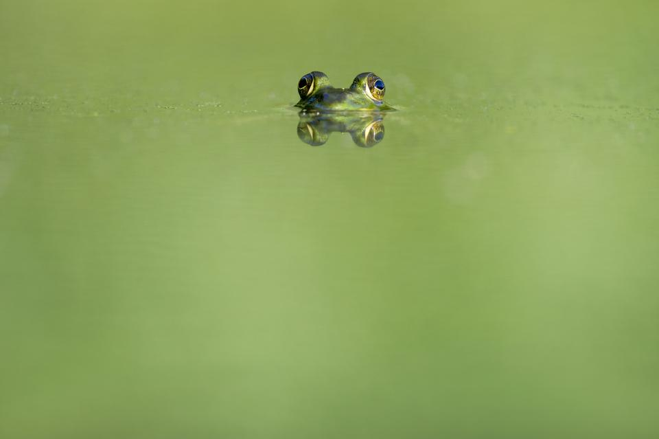 animals frogs amphibians magnificent cute adorable eyes submerged water reflection still bokeh minimalist green