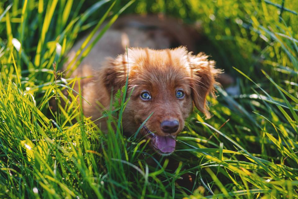brown dog puppy pet animal playing nature green grass sunny summer sunlight