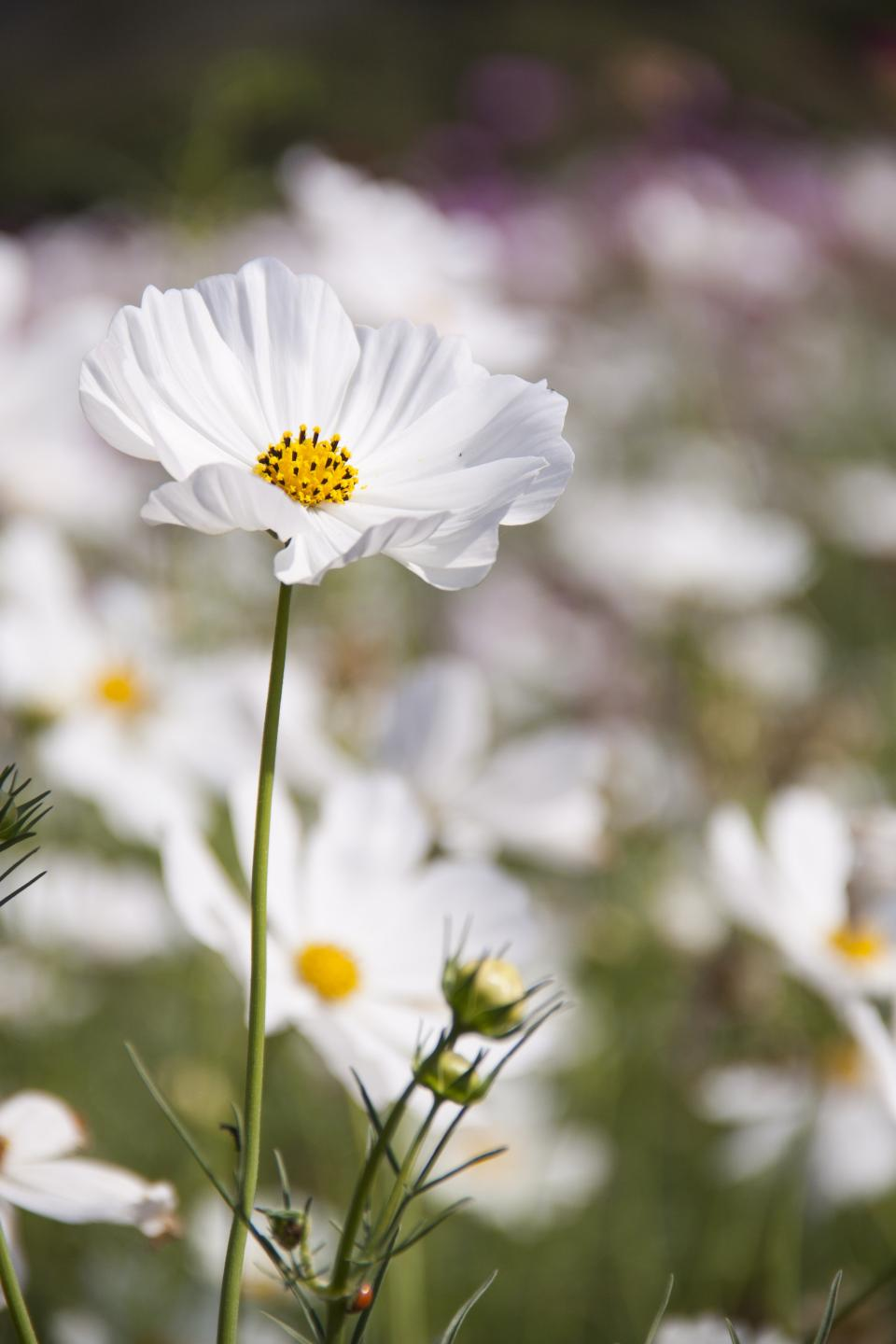 flowers nature blossoms field bed white stems stalks branches petals leaves outdoors still bokeh