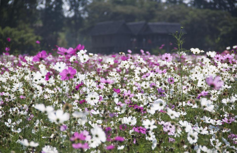 flowers nature blossoms field bed white purple stems stalks petals leaves trees bokeh outdoors