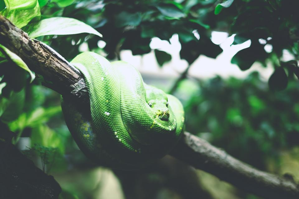 animals reptiles snakes coil tree branch leaves still bokeh green