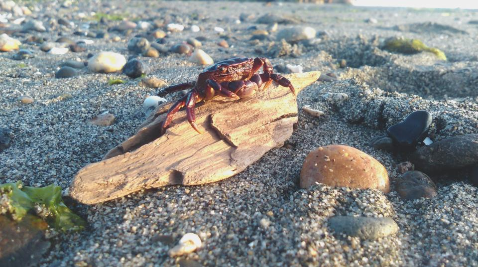 crab animal beach shore coast stone rock sand wood