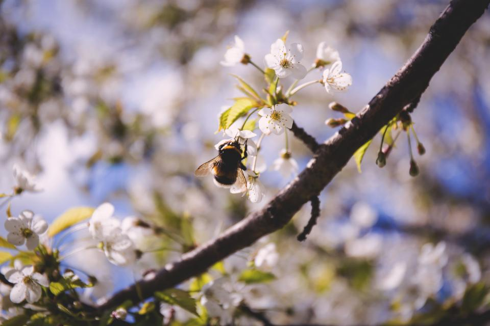 flowers nature blossoms branches white petals bokeh outdoors garden insects bee