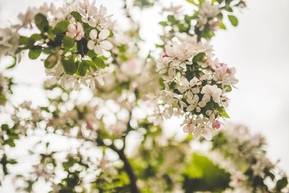 white blossoms flowers trees branches nature