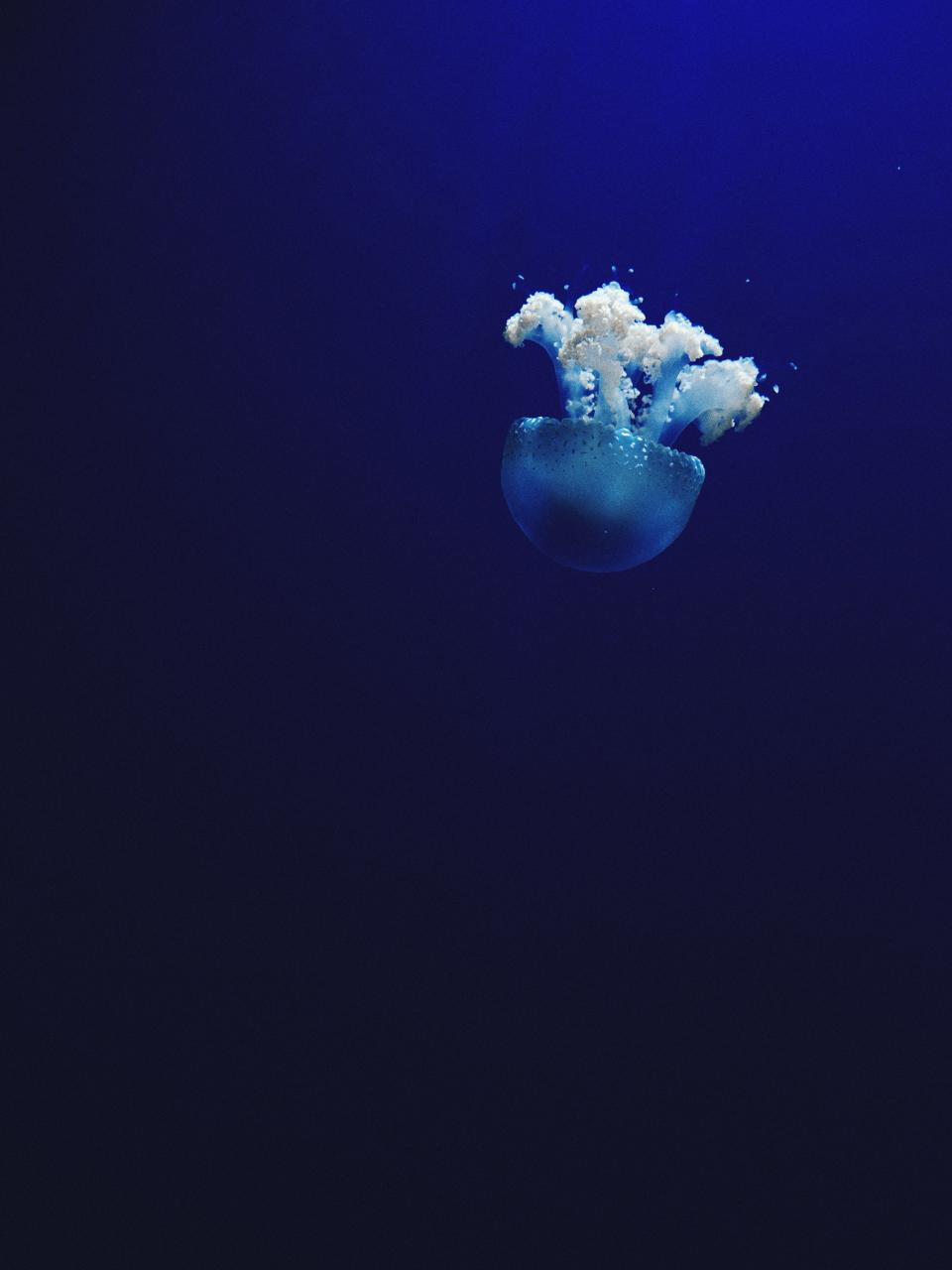 sea ocean water blue jellyfish aquatic animal